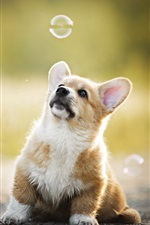 Preview iPhone wallpaper Welsh Corgi, dog play bubbles