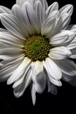 White chamomile flowers, black background