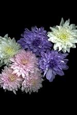 Preview iPhone wallpaper White, pink, purple chrysanthemum, black background