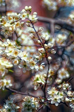 White plum flowers bloom, tree, spring