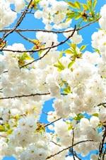 White sakura bloom, spring, tree