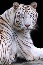 Tigre branco, olhe para trás, descanse, olhos azuis
