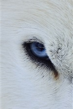 Preview iPhone wallpaper White wolf blue eyes, front view