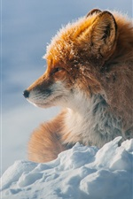 Winter, fox, snow