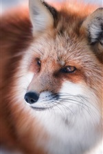Preview iPhone wallpaper Winter, red fox look at side