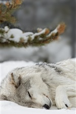Preview iPhone wallpaper Wolf sleeping in the snow, winter