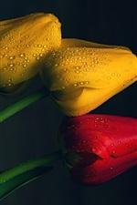 iPhone fondos de pantalla Tulipanes amarillos y rojos, gotas de agua, fondo negro