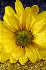 Preview iPhone wallpaper Yellow chrysanthemum, petals, water drops