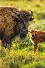 Preview iPhone wallpaper Animal, buffalo, mom and baby