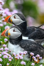 Preview iPhone wallpaper Atlantic puffin, two birds, grass