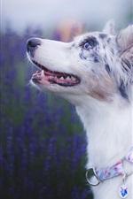 Preview iPhone wallpaper Australian shepherd, lavender