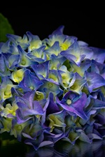 Preview iPhone wallpaper Beautiful blue flowers, hydrangea