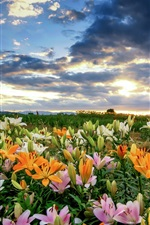 Preview iPhone wallpaper Beautiful colorful lilies, clouds, morning