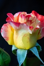Beautiful rose, yellow pink petals, black background