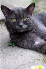 Preview iPhone wallpaper Black cat rest, yellow eyes