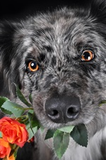 Preview iPhone wallpaper Black dog, roses