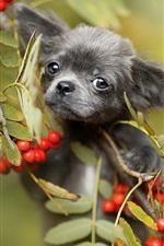 Cachorro preto, bagas vermelhas