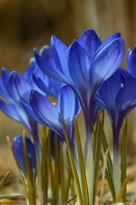 Preview iPhone wallpaper Blue crocuses, spring