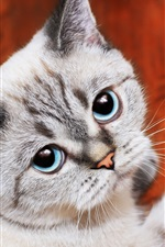 Blue eyes cat look at you, paw