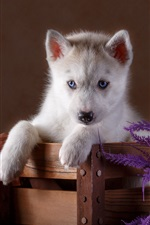 Preview iPhone wallpaper Blue eyes husky puppy, wood box