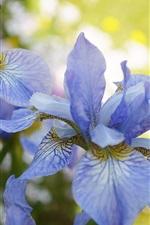iPhone fondos de pantalla Iris azules, flores, primavera