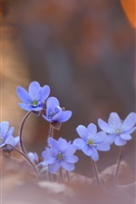 Blue little flowers, blurry background