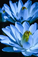 Preview iPhone wallpaper Blue water lily, three flowers