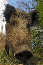 미리보기 iPhone 배경 화면 멧돼지 정면보기, 코, 잔디, 나무