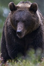 Preview iPhone wallpaper Brown bear, forest, bushes