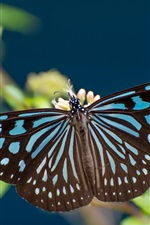 Preview iPhone wallpaper Butterfly, blue and black, wings