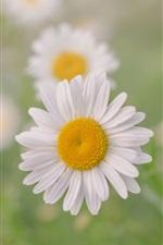 iPhone fondos de pantalla Manzanilla, pétalos blancos flores