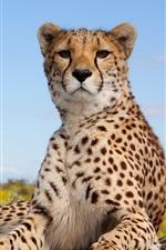 Preview iPhone wallpaper Cheetah, feline, pose, look