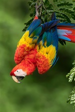 Preview iPhone wallpaper Colorful feather parrot, red macaw, nature