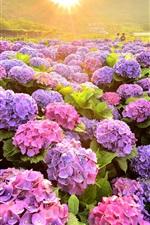 미리보기 iPhone 배경 화면 다채로운 수국 꽃, 들판, 아침