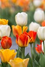 iPhone обои Красочные тюльпаны, желтый, белый, красный, оранжевый