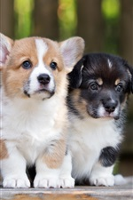 Preview iPhone wallpaper Corgi, two puppies