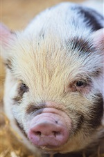 Preview iPhone wallpaper Cute little pig, nose