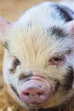 미리보기 iPhone 배경 화면 귀여운 작은 돼지, 코