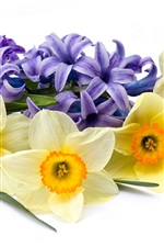 Daffodils and hyacinths, flowers, white background