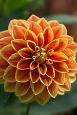 Preview iPhone wallpaper Dahlia, orange flower, petals