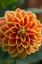 ダリア、オレンジ色の花、花びら