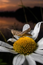 Preview iPhone wallpaper Daisy, insect, grasshopper
