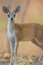 Preview iPhone wallpaper Deer, bokeh