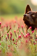 Preview iPhone wallpaper Dog, red wildflowers, summer
