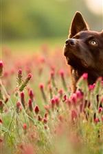 iPhone обои Собака, красные полевые цветы, лето