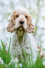 Preview iPhone wallpaper Dog, white flowers, grass, bokeh