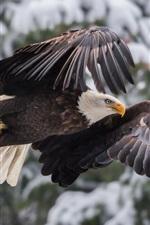Eagle flight, wings, winter