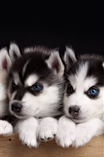 Preview iPhone wallpaper Five husky puppies, blue eyes dog
