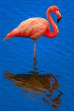 Flamingo, água azul, reflexão