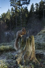Forest, stump, squirrel